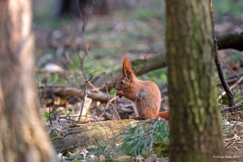 белка, лес, природа, red squirrel, forest, nature, willife В весеннем лесуphoto preview