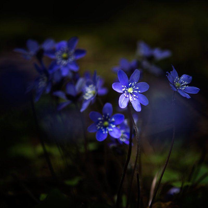 #Hepatica nobilis #anemones #flower #forest #light #shadow  Hepatica nobilisphoto preview