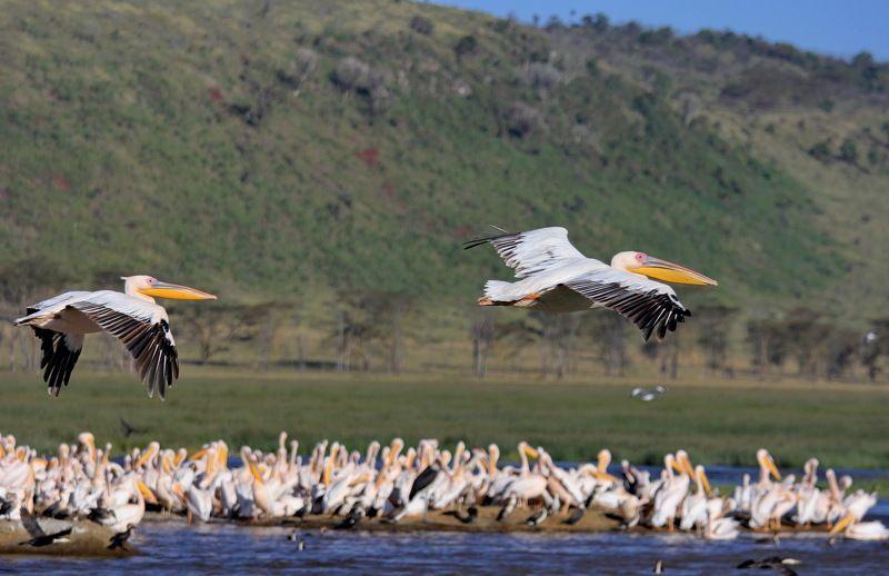 Африка. Кения. Национальные парки Кении. Озеро Накуру. Пеликаны. Природа. Пеликаны.photo preview