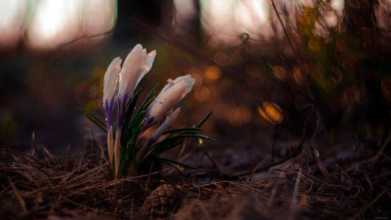 весна, макро, цветы Пробуждениеphoto preview