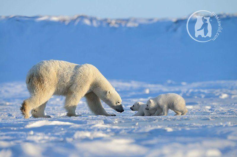 белый медведь, арктика Наставлениеphoto preview