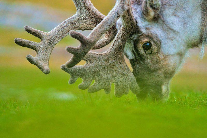 Арктика, архипелаг Шпицберген, северный олень, дикая природа, север, путешествия портрет северного оленяphoto preview