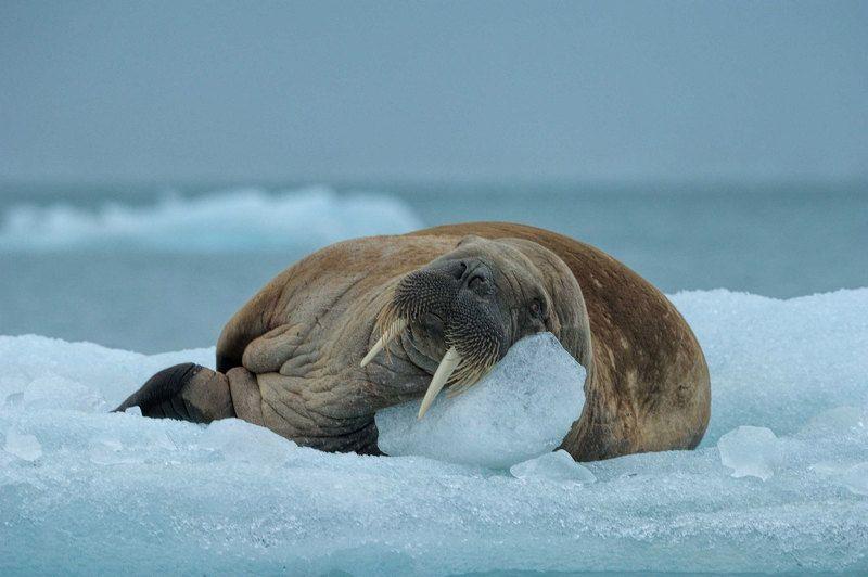 Арктика, архипелаг Шпицберген, дикая природа, путешествия, морж, льдина, морж на льдине клыкастыйphoto preview