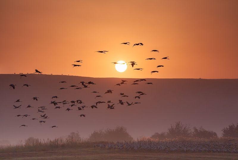 Восход, Журавли, Заповедник, Природа, Птицы, Рассвет, Серые журавли, Солнце, Туман, Утро Журавушки встречают Солнышко ...photo preview