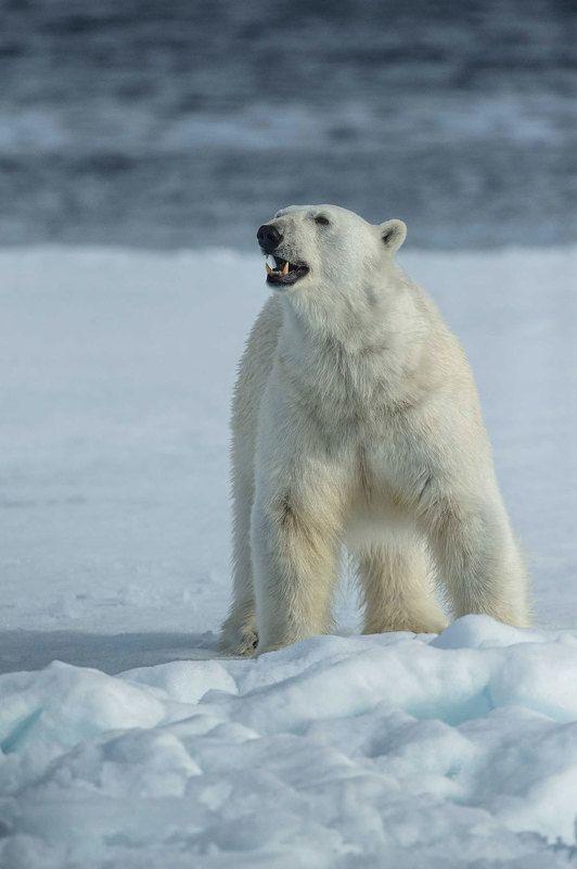 Арктика, архипелаг Шпицберген, дикая природа, путешествия, льдина, айсберг, полярный медведь, белый медведь хозяин Арктикиphoto preview