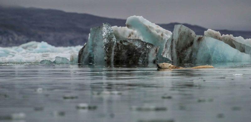 Арктика, Шпицберген, белый медведь, полярный медведь, дикая природа, путешествия, животный мир, мир Арктики, айсберги плывущий среди льдовphoto preview