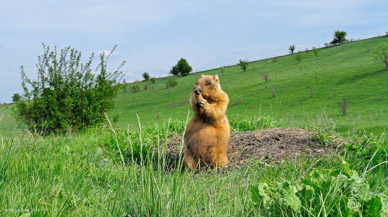 байбак, грызун, поле, весна, природа, marmota bobak, marmot, spring, wildlife, rodent Боксерphoto preview