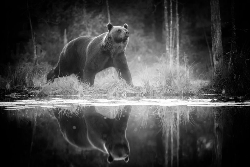 Bear with reflectionphoto preview