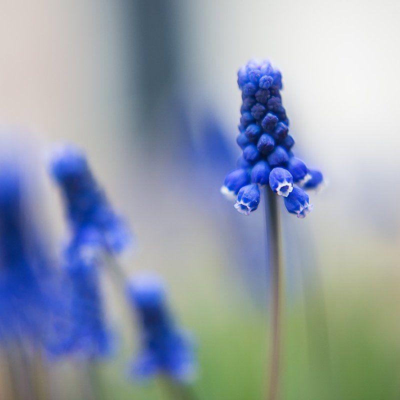 цветок, синий, нежность, весна Нежностьphoto preview