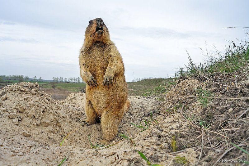Marmot, Marmota bobak, Spring, Wildlife, Байбак, Весна, Грызун, Природа Беспокойный байбакphoto preview