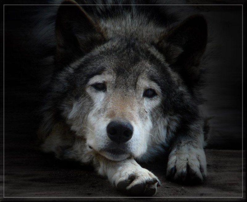 Волк грустный картинка