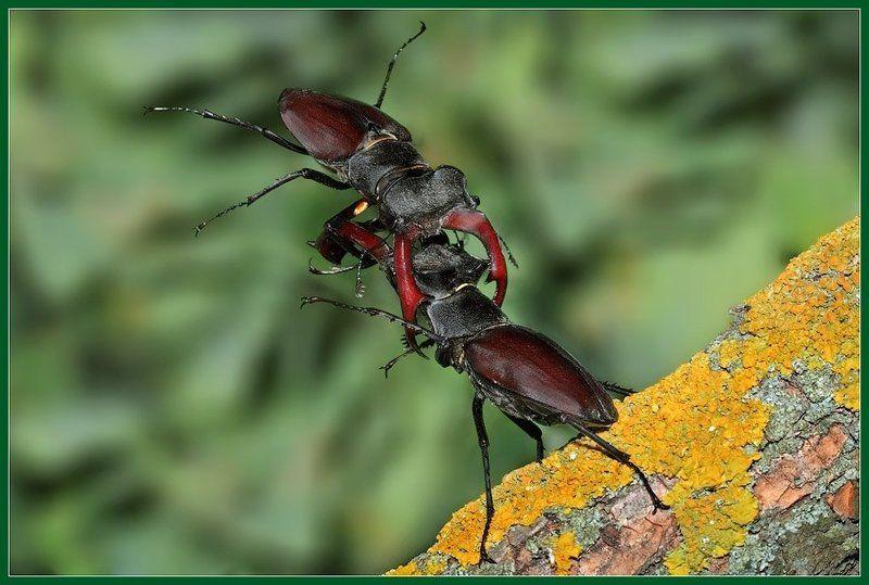 макро, жук-олень Бой жуков-оленейphoto preview