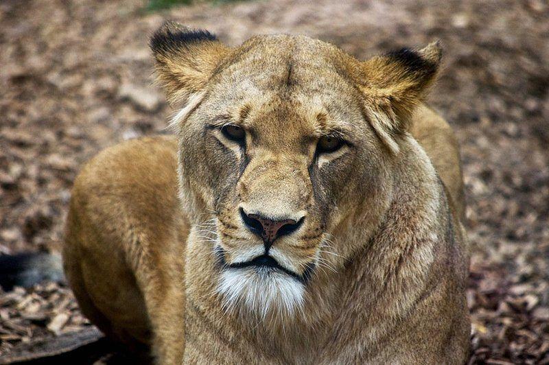 львица, зоопарк утомленнаяphoto preview