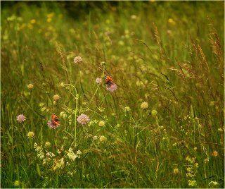 Про свидание двух бабочек в высокой траве)