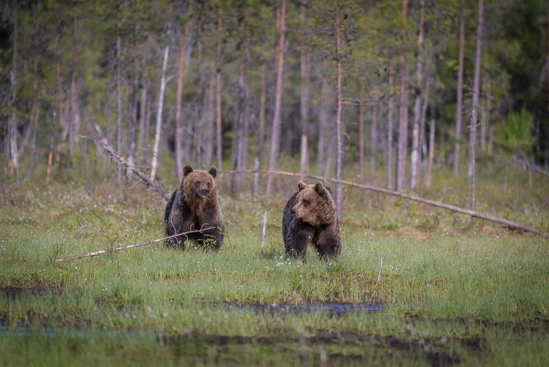 дикая природа, медведи, бурые медведи, Карелия, лето, лес молодые мишкиphoto preview