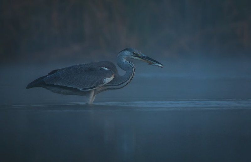Bird, Heron, Night, Wildlife Ночная охота...photo preview