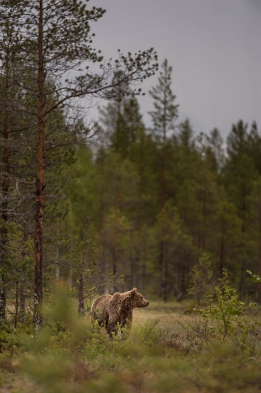 дикая природа, бурые медведи, медведи, Карелия, лес, лето в сосновом лицуphoto preview