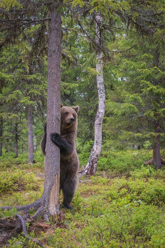бурые мишки, дикая природа, животные, медведи, Карелия устал, подержусь....photo preview