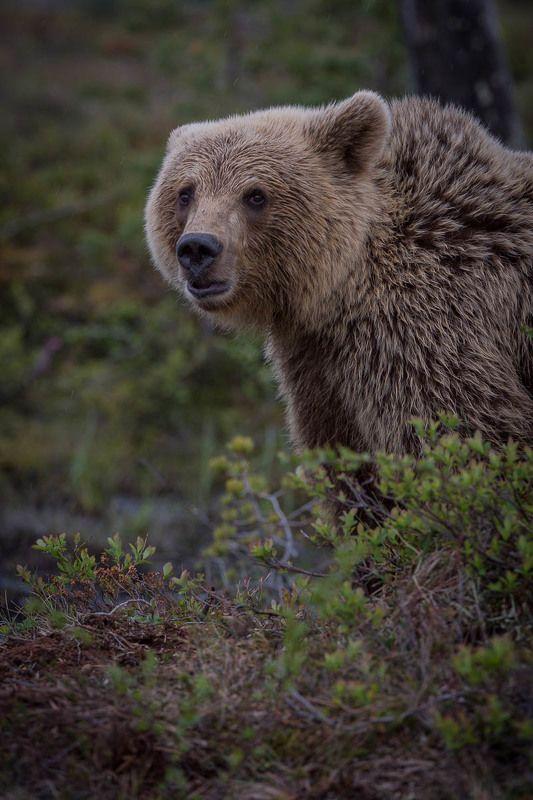 бурые медведи, природа, дикая природа, животные, Карелия, лес пристальный взглядphoto preview