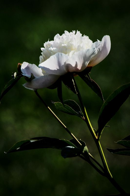 garden, peony, flower, white, nature, green, summer, flowers Peonyphoto preview