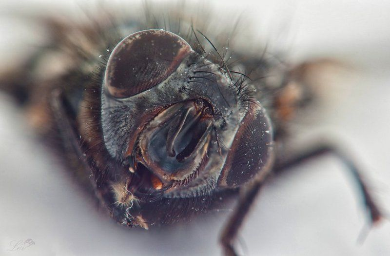 Муха, цветное фото, супер, макро, ужасы, насекомые, ЦЦ, журчалка, Fly , color photo , super macro , horror , insects, CC , hoverfly photo preview