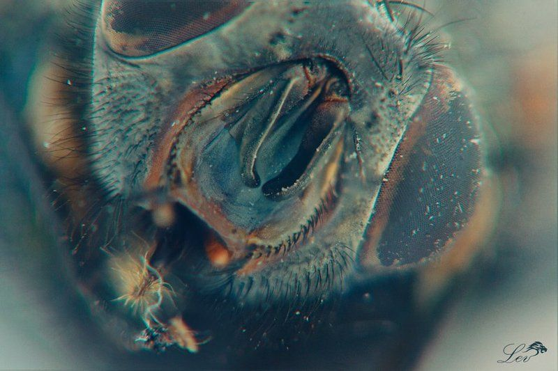 Муха, цветное фото, супер, макро, ужасы, насекомые, ЦЦ, журчалка, Fly , color photo , super macro , horror , insects, CC , hoverfly Мухphoto preview