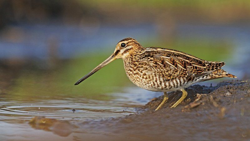 бекас,птица, птицы, дикая природа, Маэстро камуфляжаphoto preview