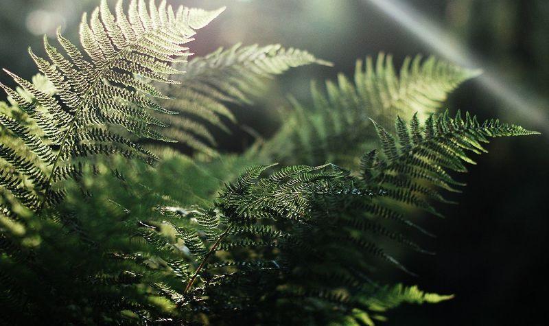 fern, папороть fernphoto preview