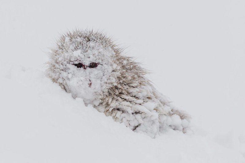 обезьяна, япония, макака, снег Ниндзяphoto preview