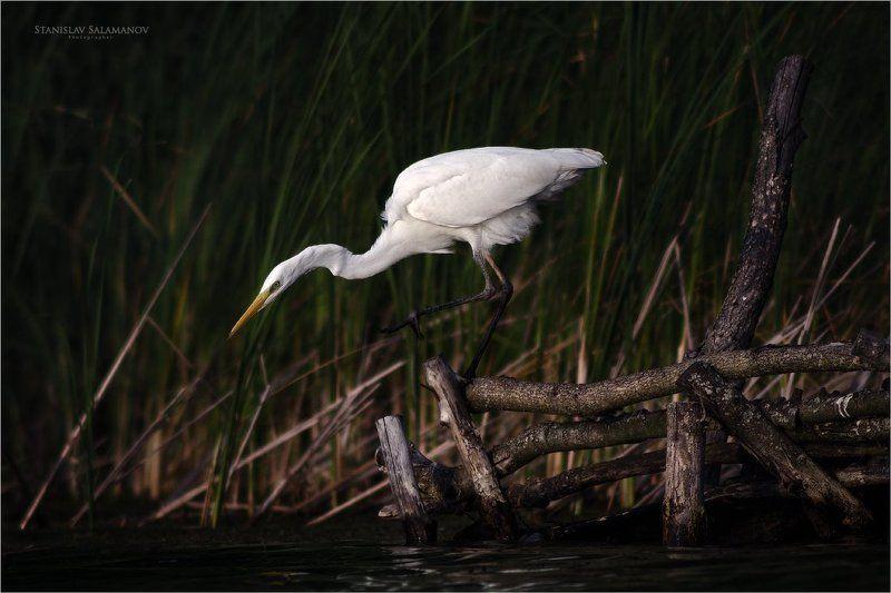 белая цапля, цапля, охота, присада, птицы Прицельная охотаphoto preview