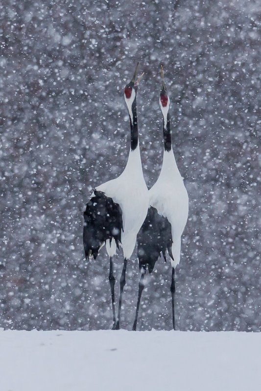 журавль, зима, пара, снег, япония Снежный романphoto preview