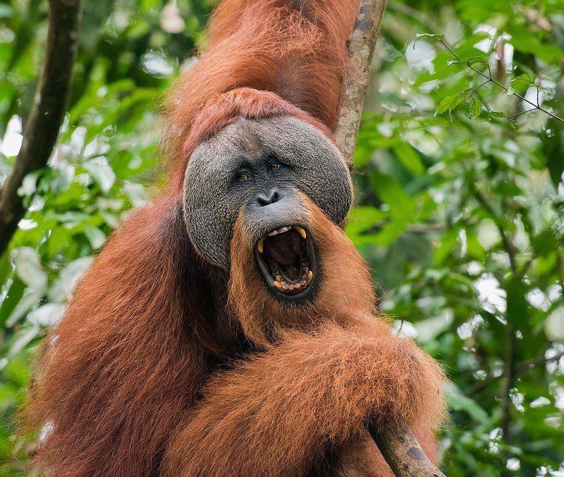 Индонезия, Орангутан, Суматра Орангутаны с Суматрыphoto preview