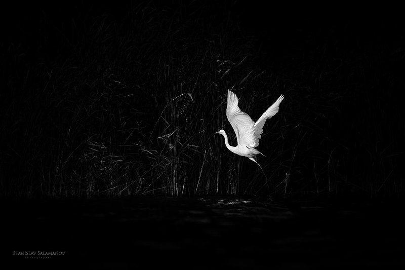 цапля, белая цапля, взлет, полет, птица, живая природа ***photo preview