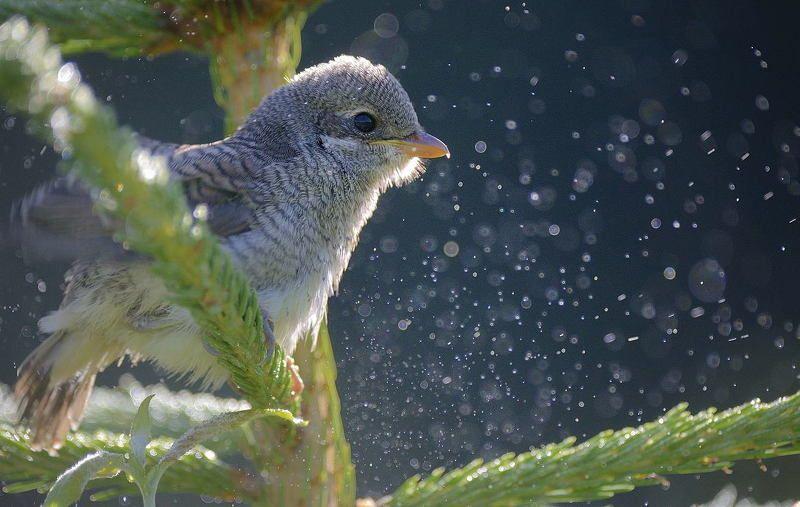 Жулан Утро, мокро...photo preview