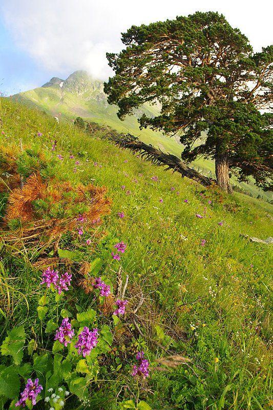 пейзаж со льном и соснойphoto preview