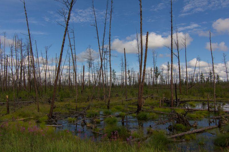 якутия, сибирь, вечная мерзлота, болото, лес, тайга Отступление вечной мерзлотыphoto preview
