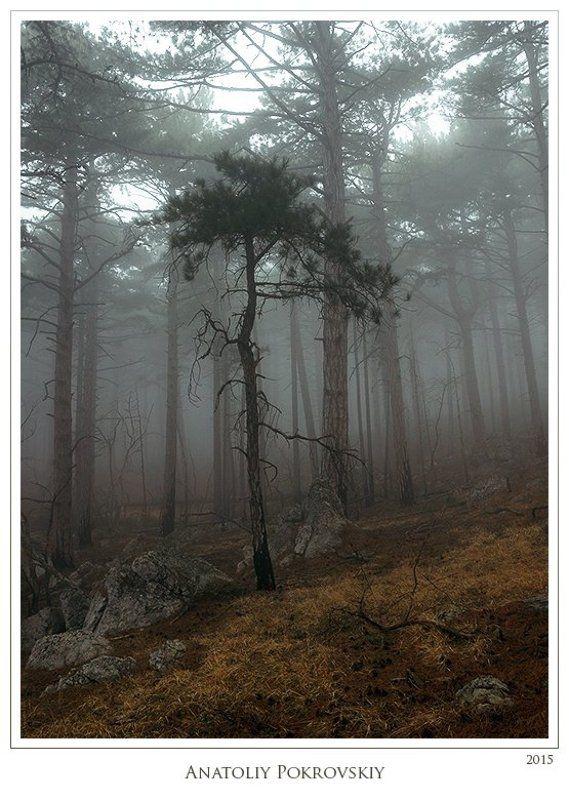 Анатолий покровский, Лес, Сосны, Туман Тайные пути неспешных мыслей туманного лесаphoto preview