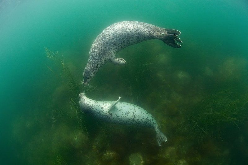 тюлень, ларга, Россия, Охотское море, Курилы, Кунашир, море, двое Двоеphoto preview