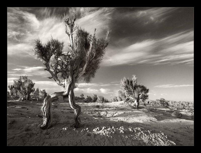 монголия, саксаулы, рассвет пробуждение Великана Саксаула на рассвете пятой ночи эзотерических странствийphoto preview