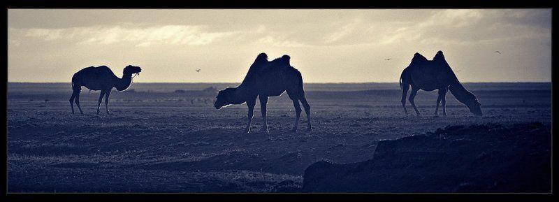 монголия, верблюды, рассвет монгольская флотилияphoto preview