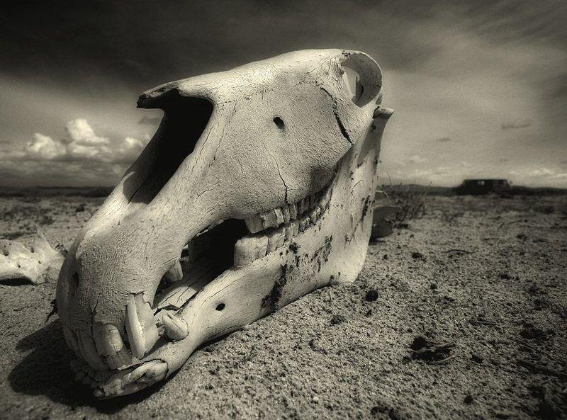 остов, череп, лошадь бывшая nature mortephoto preview