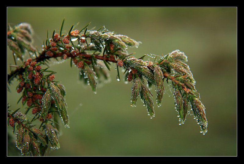 смерека, роса, утро, лес photo preview