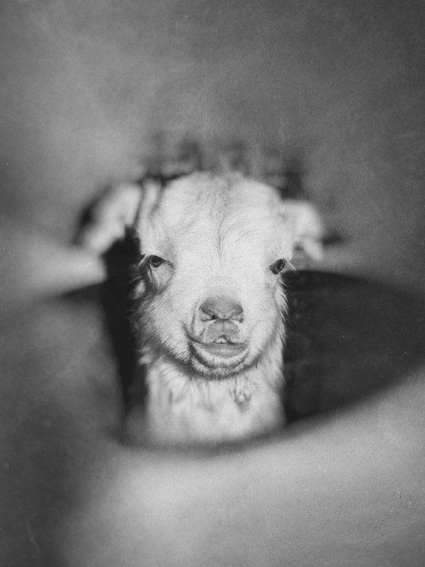 Козы, бабушка, старость, дети, козлята, ЧБ, черно-белое, забота, любовь, радость, Козий домphoto preview