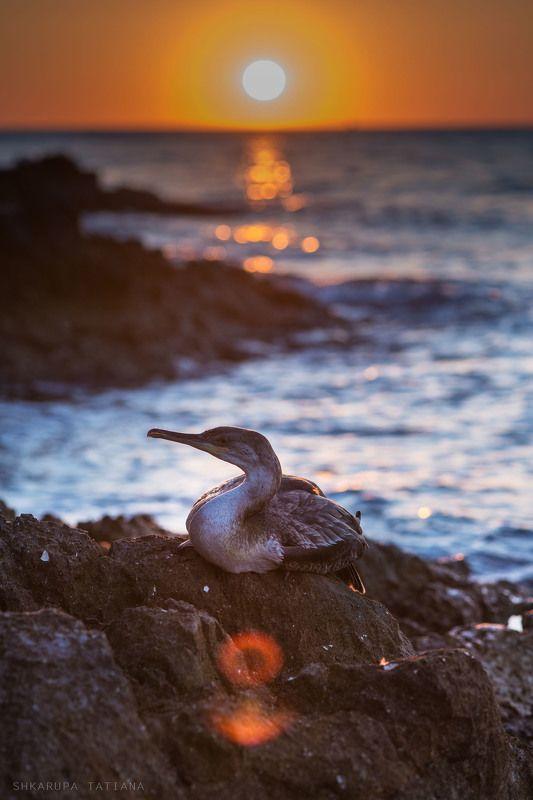 баклан, птицы, закат, море Бакланphoto preview