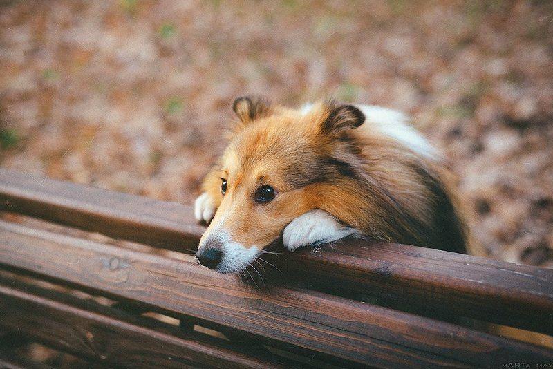 sheltie, dog, cute *****photo preview