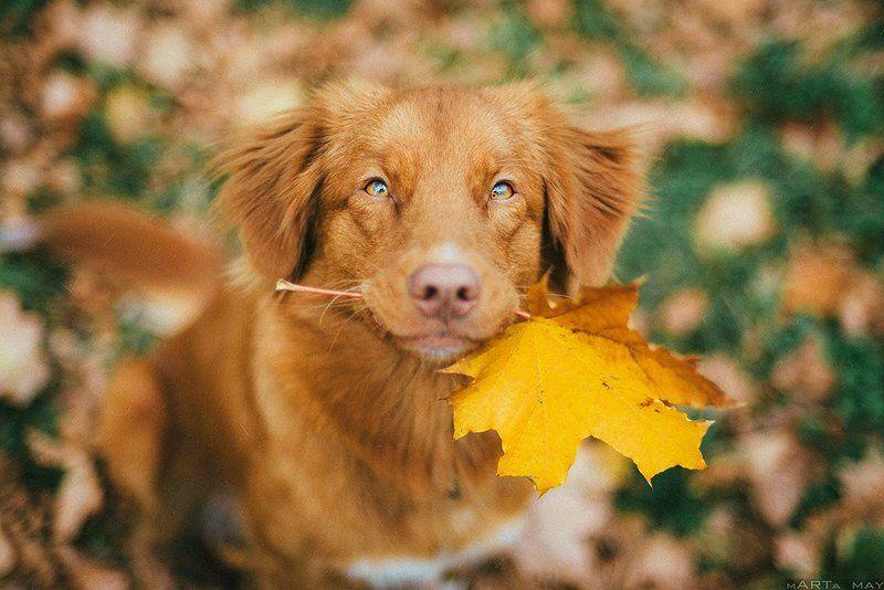 толлер, собака,  Tolling Retriever, pet, autumn, red, dog, осень, рыжий  Sunnyphoto preview