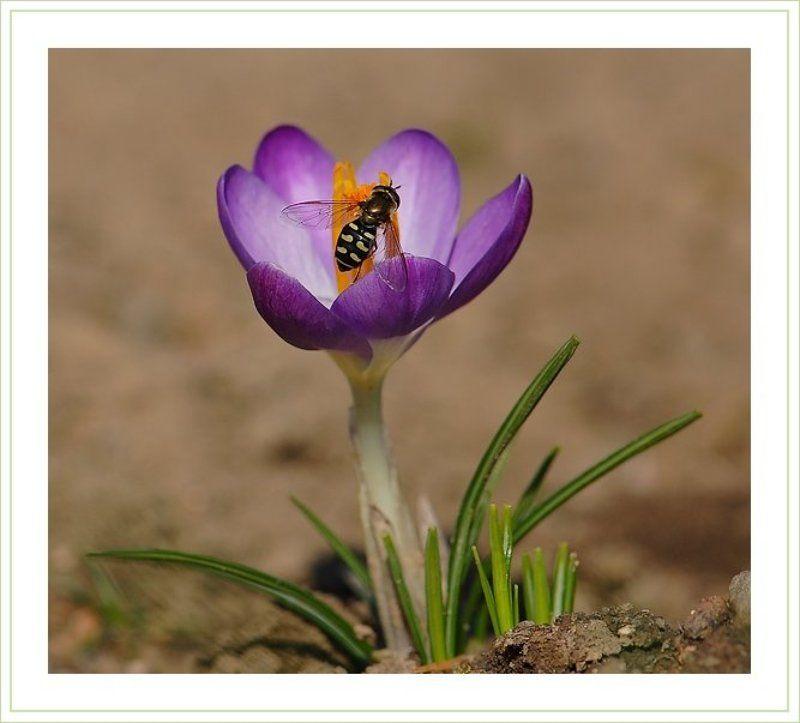 крокус,мушка,журчалка Веснаphoto preview