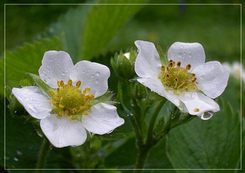дождь, лето, цветы, капли, клубника, июнь photo preview