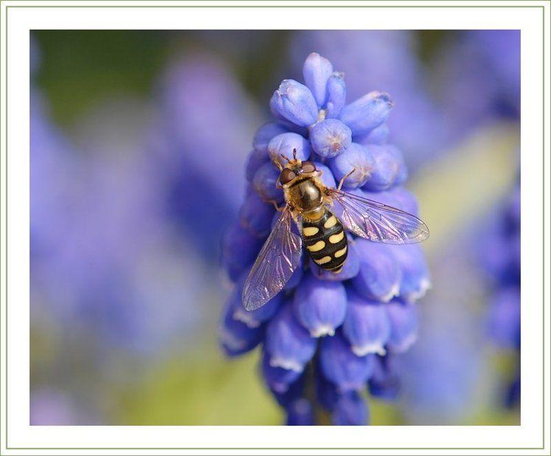журчалка, мускари Все любят мёд :)photo preview