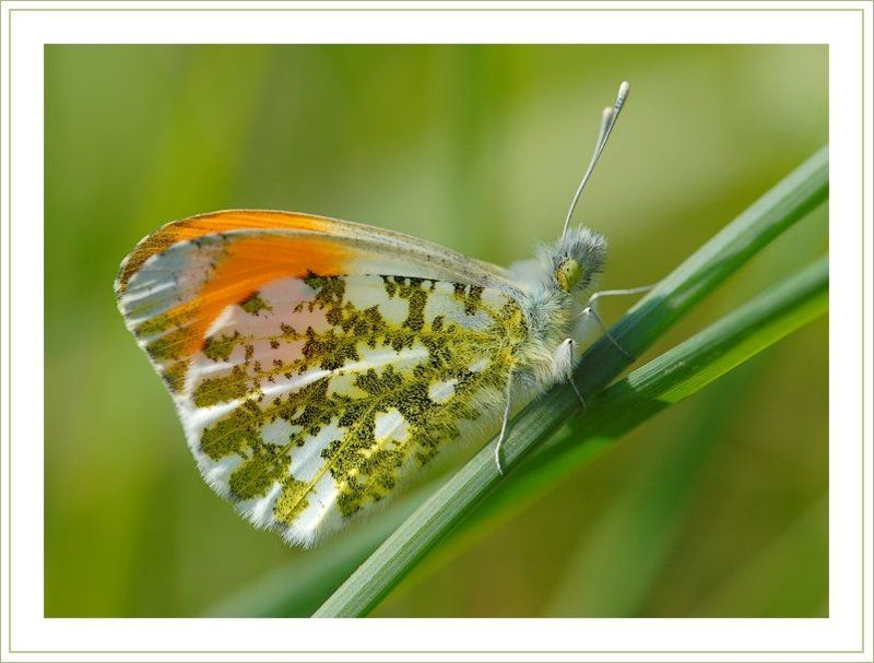 бабочка, зорька Королова(а вообще) Король весеннего лугаphoto preview